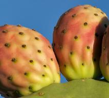 Opuncja figowa - co warto o niej wiedzieć?