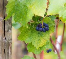 Dolmasi, dolmades - mięso mielone w liściach winorośli: przepis kuchni tureckiej