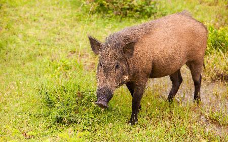 Dziczyzna: mięso z jakich zwierząt musi być przebadane weterynaryjnie?
